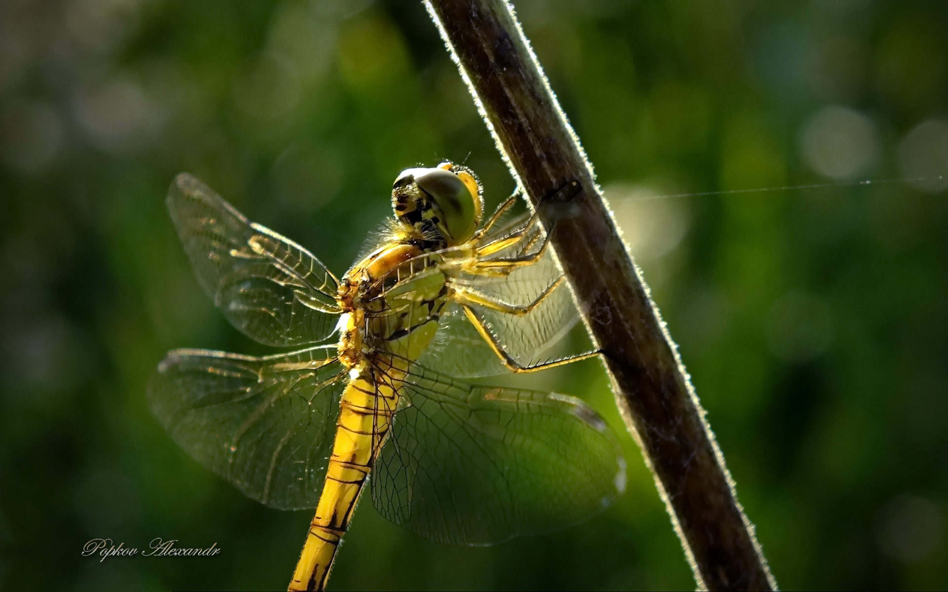 Honey dragonfly
